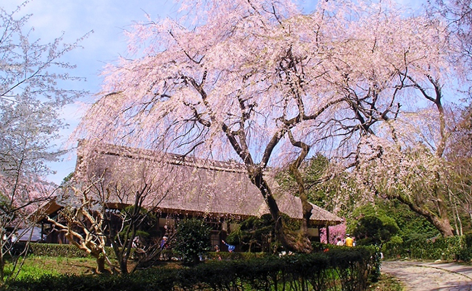 The main building and weeping cherry
